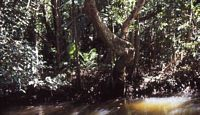 Mangrovenwald am Daintree River